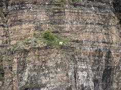 Goats in precarious positions - 09