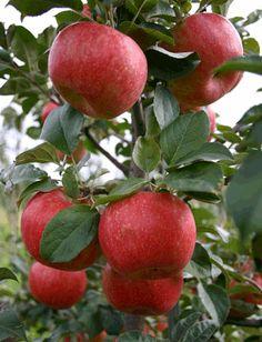 Malus pumila - Common/European Apple