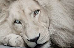 White Lion. The Global White Lion Protection Trust is a South African based non-profit conservation and community development organisation accountable to its Trustees and a panel of global advisors dedicated to protecting and reintroducing white lions into their natural habitat. www.whitelions.org