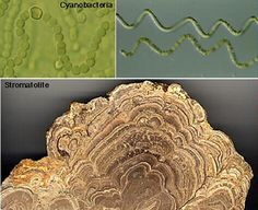 Microbes such as cyanobacteria create stromatolite structures. Credit: California State University, Long Beach