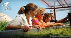 De la vigne au chai - reportage photo ! Chantegrive - harvest . sorting table - Lévêque family