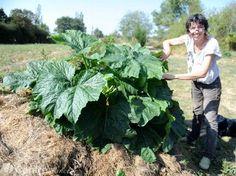 """""""Avec leurs buttes de Terra Pietra, Alain Chavoix et Brigitte Bogros récoltent deux fois plus de légumes et de fruits, sans utiliser de pesticides chimiques. Un seul pied de courgette suffit !""""... http://www.lamontagne.fr/auvergne/actualite/2016/09/12/a-la-decouverte-des-jardins-alternatifs-bourbonnais-ils-produisent-plus-et-sans-pesticides_12067125.html"""