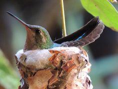 Foto besourinho-de-bico-vermelho (Chlorostilbon lucidus) por Valdeci Andrade | Wiki Aves - A Enciclopédia das Aves do Brasil