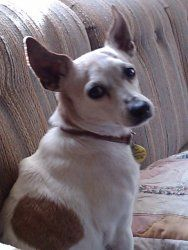 Nye is an adoptable Jack Russell Terrier Dog in Trevorton, PA. Nye is a 10 year old, 12 pound mix that was rescued from a high kill shelter. Shei s a very well behaved, lovable girl who loves to give ...