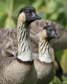 Nene Hawaiian Goose, Waimea Canyon, Kauai