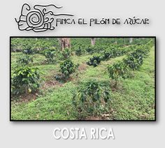 Mayo 2017 Obatá sembrado en Sep. 2015, Lote Casas. #fincaelpilóndeazúcar #cafédecostarica