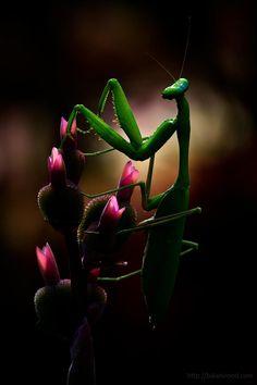 A mantis on a flower