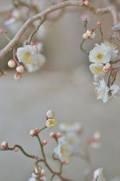 Cerejeira em flor.
