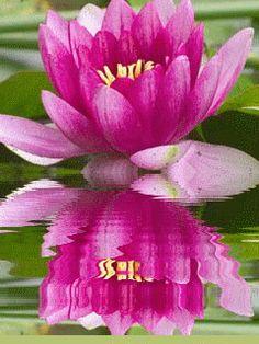 Lotus Gif