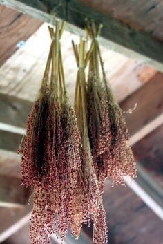 bundles of broom corn hung to dry | dried flowers