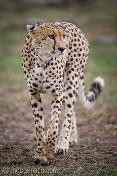 Cheetah.   Masai Mara.   Kenya.    Cheetah-Hunt: http://www.ingogerlach.com/die-jagd-der-gepardenbrueder