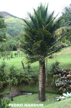 Ravenea rivularis, Fazenda das Flores BOTANICA POP 2014 Tropical Landscaping, Landscaping Plants, Tropical Garden, Tropical Plants, Colorful Plants, Fruit Plants, Desert Plants, Palm Tree Flowers, Palm Trees