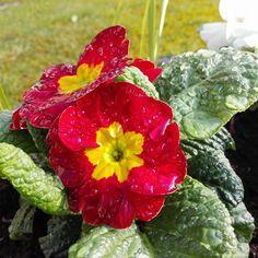Za nim się kolor wkradnie wszędzie na ogrodowe wzgórki skalne , Zafundowałam sobie wiosnę bo lubię ogród , gdy jest ładnie . Nie czekam , dłużej na promienie  rozbudzajcych serc ukrytym kwiatom,  Zafundowałam sobie wcześniej wiosnę  ..nim wplotą miłość mym rabatom .... / maria/ ( foto własna )
