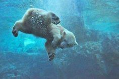 Polar bear swimming underwater. Fascinating Pictures (@Fascinatingpics)   Twitter