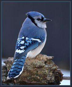Les oiseaux du Québec - Recherche Google Blue Jay Bird, Cardinal Birds, Cockatiel, Beautiful Birds, Recherche Google, Pet Birds, Animals And Pets, Dog Cat, Wildlife