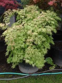Acer palmatum 'Sister Ghost' | UBC Botanical Garden Forums