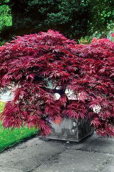 Vente Bakker / 16871 / Arbres, arbustes et haies / Erable du Japon Dissectum Garnet