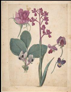 Studio di fiori: rosa, viola del pensiero, pisello dolce, pisello da giardino e orchidea Lax. Francia XVI sec. NYC. Met.