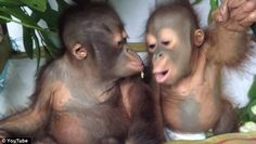 Two peas in a pod: Indeed, video footage captured at the International Animal Rescue's Orangutan Rescue Centre in Indonesia, shows the duo throwing adoring glances at each other as they share a dinner of fruit