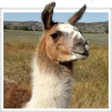 Alpacas and Llamas can also serve as guards to livestock and poultry.