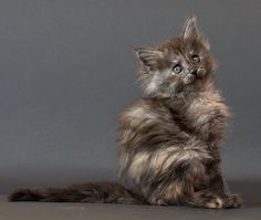 What a gorgeous color for a Maine Coon