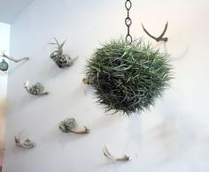 Large Hanging Air Plant // By Robincharlotte By Peacocktaco