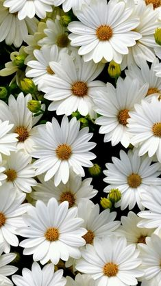 New Wall Paper Iphone Flores Beautiful Flowers Ideas My Flower, White Flowers, Beautiful Flowers, Daisy Flowers, Daisy Daisy, Beautiful Life, Spring Flowers, Anemone Flower, Flower Petals