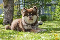 Finnish Lapphunds - Health, History, Appearance, Temperament & Maintenance