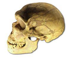 cráneo fósil, descubierto en La Ferrassie, Francia, en 1909. Se estima que tiene una edad de 70.000 años. Sus características incluyen un cráneo de bóveda baja y los dientes muy desgastados