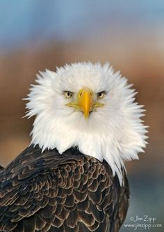 even bald eagles have bad hair days. Pretty Birds, Beautiful Birds, Animals Beautiful, Cute Animals, All Birds, Birds Of Prey, Love Birds, Nocturne, Bird Watching