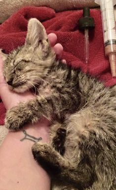 A couple stopped at a gas station while they were on a road trip crossing Louisiana. As they got out of their car, they found a tiny kitten sitting in a puddle of gasoline. They knew they had to save him.Meet Andy! Moonglade Rose The 6-week-old kitten was in poor sh...