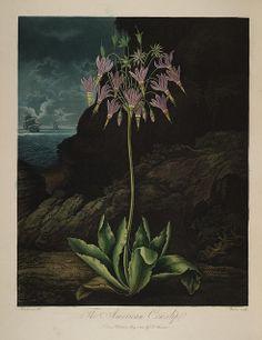 Carolus von Linnaeus. 1807