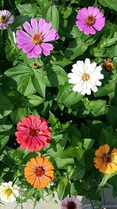 Zinnias, Flowers, Plants, Beautiful Flowers, Florals, Planters, Flower, Blossoms, Plant
