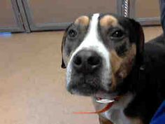 ROCKY is an adoptable Pit Bull Terrier Dog in Martinez, CA.  ...