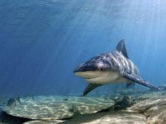 """O Instituto Sea Shepherd Brasil, que milita na defesa da vida marinha, iniciou uma campanha para acabar com a matança de tubarões em todo Brasil. A ideia do grupo é fazer com que as pessoas enviem fotos ou vídeos dos grupos de extermínio que caçam tubarões em Pernambuco, Recife, onde existem pessoas se mobilizando para...<br /><a class=""""more-link"""" href=""""https://catracalivre.com.br/recife/sustentavel/indicacao/sea-shepherd-recompensa-fotos-e-videos-de-exterminio-de-tubaroes/"""">Continue lendo…"""