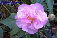 Full size picture of Confederate Rose, Cotton Rose (Hibiscus mutabilis)