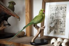 Taxidermy Ringneck. Mandibles, Cape Town.