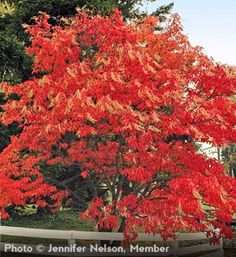Sourwood Tree: Fragrant, white flowers in early summer Dazzling fall color turning yellow, red, and purple Prefers full sun Grows 25' to 30' high with 20' spread Zones 5 to 9
