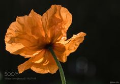 Orange poppy In the sun - Taken today now the sun has come out.