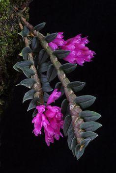 Dendrobium limpidum 'Ashley' CBR/AOS