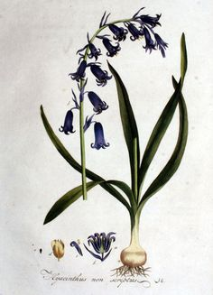 Bluebell (Scientific Illustration)