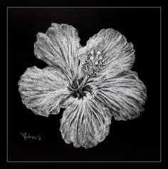Hibiscus Scratchboard Flower -Artist Print on Etsy, $12.00