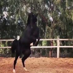10 mistakes new riders make ! Black Arabian Horse, Beautiful Arabian Horses, Most Beautiful Horses, Black Horses, Animals Beautiful, The Black Stallion, Egyptian Arabian Horses, Funny Horses, Cute Horses