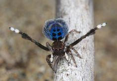 _X8A4428 peacock spider Maratus nigromaculatus