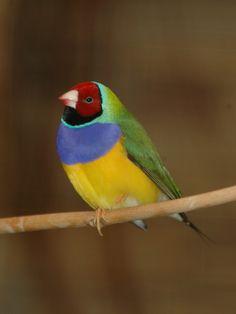 Gouldian Finch-fantastic colours!!