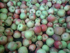 Apples in hood river Oregon