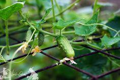Stuffed Peppers, Vegetables, Gardening, Women, Plant, Life, Stuffed Pepper, Lawn And Garden, Vegetable Recipes