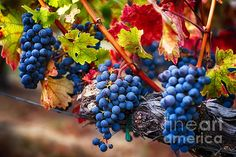 Bunch Of Blue Grapes On The Vine