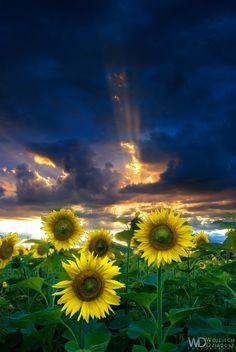 Portrait of Sunflowe Flowers Garden Love
