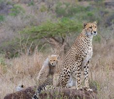 Photo by @andywcoleman //. Happy Mother's Day to mothers everywhere. Being a cheetah mom is a round the clock job. We watched this cheetah spend the morning teaching her young cubs survival skills while watching for prey and other predators. Young cubs have a lot of energy and need a great deal of nourishment. It's up to mother to keep them fed. From this perch this cheetah spotted an impala in the distance and was off on the hunt. Only half of a cheetah's hunts are actually successful but…
